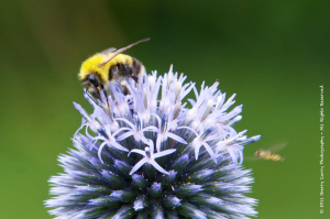 Bees and Allium.png