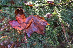 Fall Maple Leaf in Spruce.png
