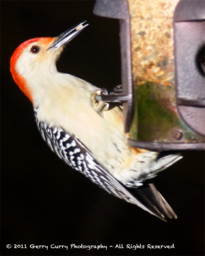 Red-bellied Woodpecker at Feeder.png