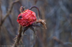 Rose Hip - Bartletts Beach.png